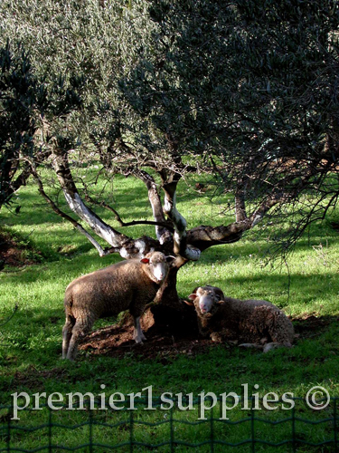 Sheep under an olive tree near Les Baux in Provence in France. Don't know the precise breed.  Just liked the scene.