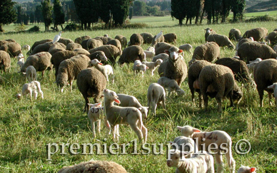 Ewes with lambs in Provence in France in 2000. However, this is mid-November. So these lambs dropped in Oct. Again I don't know the precise breed.