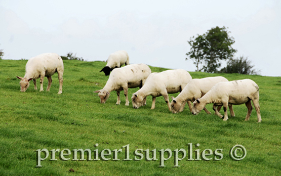 Newly shorn Charolais ewes with a Suffolk ram in Ireland.