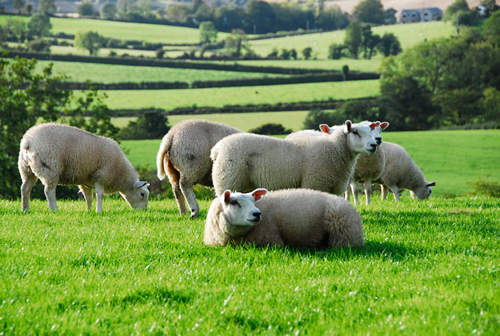Ireland S Liquid Sunshine Premier1supplies Sheep Guide