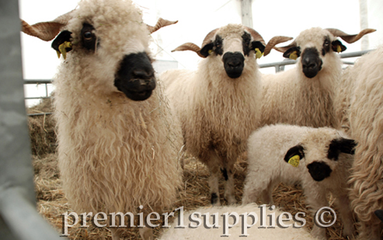 Another view of Valais Black Nose sheep. Eye-catching, without a doubt. Stick-makers would love their horns. But I wouldn't like to shear them, or work on them in a handling chute (race).