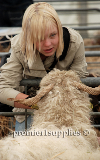 Maren Boyer, daughter of Tom and Carrie Boyer of Utah up close and personal with  a Valais Black Nose sheep.