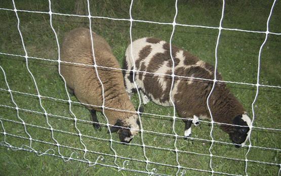 Finn Cross lambs raised by Pierce D. of Pennsylavania. This backyard crop's destination was Pierce's freezer.