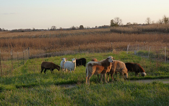 Here is my purebred Katahdin ram at 11 months old being introduced to the mixed hair ewes last October (2011).  He did well with 6 ewes (3 maiden) and produced 183% live births.  Carol Baker of New Ross, Indiana.