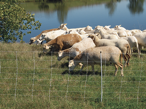 Use temporary fencing for first-time rotational grazing –
