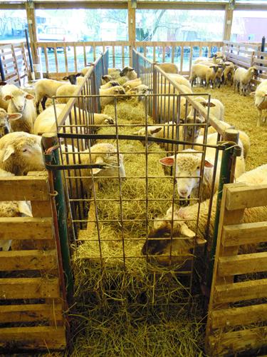 Shed Lambing Premier1supplies Sheep Guide