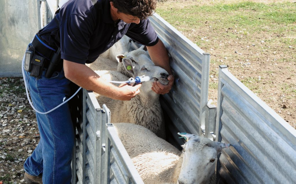 Sheep drenching photo